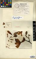 Holotype of Rhododendron missionarum H.Lev. [family ERICACEAE]