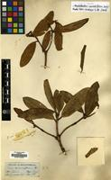 Isotype of Rhododendron camelliiflorum Hook.f. [family ERICACEAE]