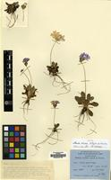 Isotype of Primula aliciae G.Taylor ex W.W.Sm. [family PRIMULACEAE]
