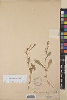 Filed as Launaea crassifolia (Balf.f.) C.Jeffrey [family COMPOSITAE]