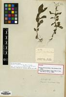 Isotype of Aciotis dichotoma (Benth.) Cogn. [family MELASTOMATACEAE]