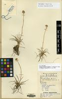 Isotype of Aletris capitata F.T. Wang & T. Tang [family NARTHECIACEAE]
