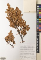 Filed as Nothofagus betuloides (Mirb.) Oerst. [family NOTHOFAGACEAE]