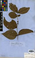 Isotype of Basistemon peruvianus Benth. ex B.D. Jacks. [family PLANTAGINACEAE]