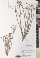 Filed as Sanicula graveolens Poepp. [family UMBELLIFERAE]