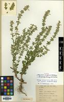 Holotype of Stachys annua L. var. lycaonica R.Bhattacharjee [family LABIATAE]