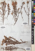 Filed as Baccharis rufescens Spreng. var. rufescens [family COMPOSITAE]