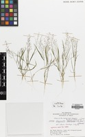 Filed as Eragrostis tenella (L.) P.Beauv. ex Roem. & Schult. [family GRAMINEAE]