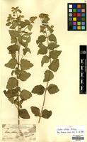 Isotype of Calea albida A.Gray [family COMPOSITAE]