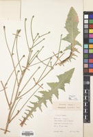 Filed as Cichorium intybus L. [family COMPOSITAE]