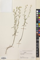 Filed as Conyza canadensis (L.) Cronquist [family COMPOSITAE]