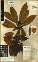 Holotype of Rhododendron crinigerum Franch. var. euadenium Tagg & Forrest [family ERICACEAE]
