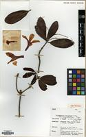 Holotype of Rhododendron longiflorum Lindl. var. longipetalum Argent, A.Lamb & Phillipps [family ERICACEAE]