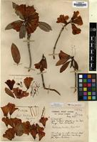Holotype of Rhododendron dimitrium Balf.f. & Forrest [family ERICACEAE]