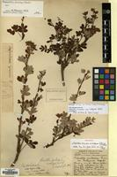 Holotype of Potentilla arbuscula D.Don var. bulleyana Balf.f. [family ROSACEAE]