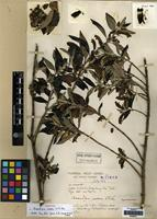 Holotype of Brandisia rosea W.W.Sm. [family OROBANCHACEAE]