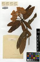 Holotype of Rhododendron hardingii Tagg [family ERICACEAE]