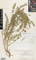 Filed as Astragalus baissunensis Lipsky [family LEGUMINOSAE]