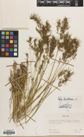 Filed as Poa bulbosa L. [family GRAMINEAE]