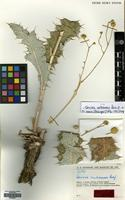 Type of Cousinia mutehensis Rech.f. [family COMPOSITAE]