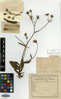 Type of Picris divaricata Vaniot [family COMPOSITAE]