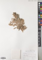 Filed as Atractylis kentrophylloides (Baker) F.G. Davies [family COMPOSITAE]