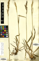 Filed as Paspalum dasypleurum Kunze ex E.Desv. [family GRAMINEAE]
