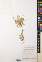 Filed as Arenaria foliacea Turrill [family CARYOPHYLLACEAE]