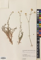 Filed as Achillea membranacea Lab. [family COMPOSITAE]
