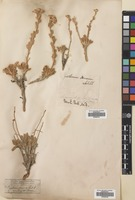 Filed as Tanacetum densum (Labill.) Sch.Bip. [family COMPOSITAE]