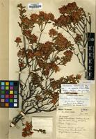 Holotype of Rhododendron hippophaeoides Balf.f. & W.W.Sm. var. occidentale M.N.Philipson & Philipson [family ERICACEAE]