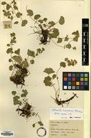 Type of Alchemilla tiryalensis Pawl. [family ROSACEAE]