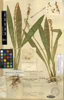 Type of Liparis malleiformis W.W.Sm. [family ORCHIDACEAE]