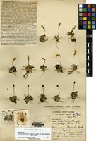 Holotype of Didissandra forrestii J.Anthony [family GESNERIACEAE]