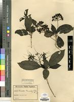Type of Pavetta warneckei K.Schum. & Krause [family RUBIACEAE]