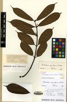 Isotype of Trachelospermum axillare Hook.f. [family APOCYNACEAE]