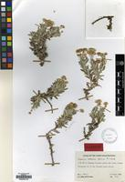 Holotype of Phagnalon retecta Qaiser&Lack [family COMPOSITAE]