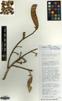 Isotype of Caesalpinia hughesii G.P. Lewis [family LEGUMINOSAE]