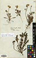 Isotype of Eutoca douglasii Benth. [family BORAGINACEAE]