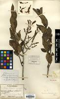 Holotype of Pieris fauriei H.Lev. [family ERICACEAE]