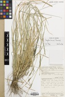 Filed as Eragrostis braunii Schweinf. [family GRAMINEAE]