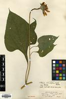 Isotype of Tithonia macrophylla Watson [family COMPOSITAE]