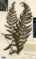 Type of Athyrium viviparum Christ [family WOODSIACEAE]