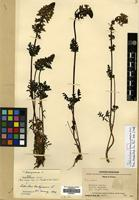 Isotype of Pedicularis brachycrania H.L.Li [family OROBANCHACEAE]