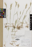 Filed as Bromus lanceolatus Roth. [family GRAMINEAE]