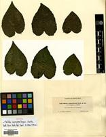 Isotype of Meliola compositarum Earle [family MELIOLACEAE]