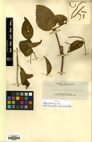 Isotype of Piper striatum C.DC. [family PIPERACEAE]