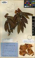 Holotype of Rhododendron lanatoides D.F.Chamb. [family ERICACEAE]