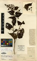 Holotype of Rubus minimiflorus H.Lev. [family ROSACEAE]