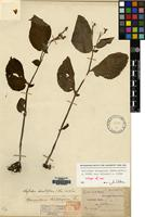 Isotype of Whytockia tsiangiana (Hand.-Mazz.) A.Weber var. wilsonii A.Weber [family GESNERIACEAE]